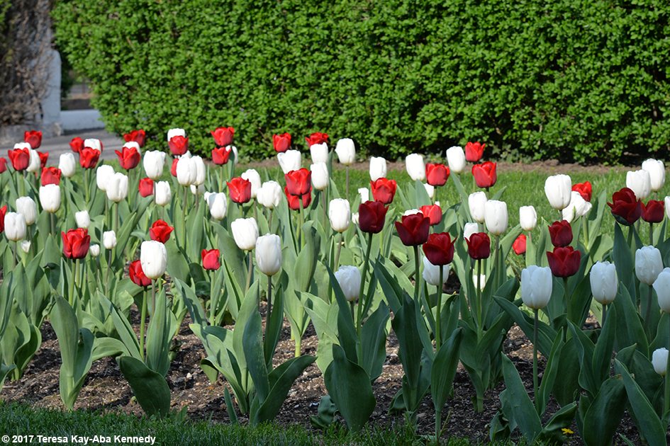 Tulips at the Stamford Yacht Club - April 29, 2017